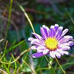 Fleur l'Aster