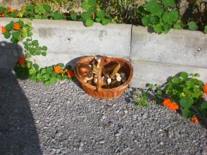 cueillette de cèpes à Aramits